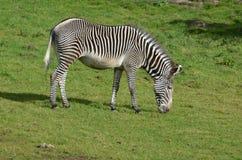 Зебра пася на сочной зеленой траве прерии Стоковые Изображения RF