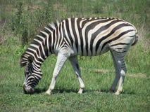 Зебра пася на траве в запасе игры Стоковое Изображение RF