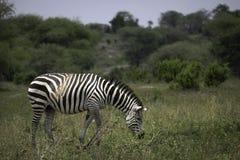 Зебра пася на Serengeti Стоковая Фотография
