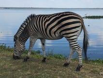 Зебра пася озером Стоковые Изображения