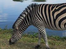 Зебра пася озером Стоковое фото RF