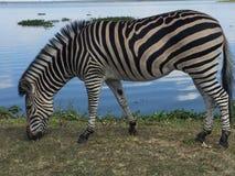 Зебра пася озером Стоковая Фотография