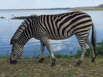 Зебра пася озером Стоковые Фотографии RF