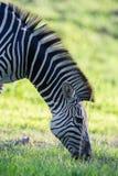 Зебра пася Стоковая Фотография