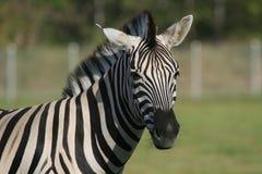 зебра портрета Стоковые Изображения RF