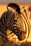 зебра портрета Стоковые Изображения