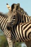 зебра портрета burchells Стоковая Фотография RF