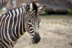 Зебра, портрет Стоковое фото RF