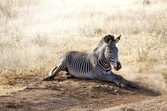 Зебра подливки в национальном заповеднике Samburu, Кении Стоковая Фотография RF