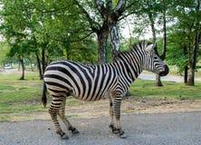 Зебра, полная диаграмма Стоковое Изображение