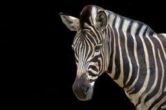 зебра предпосылки черная Стоковые Изображения RF