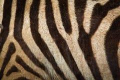 зебра предпосылки Стоковое фото RF