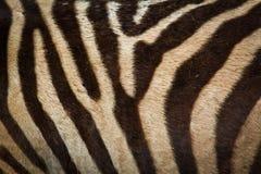 зебра предпосылки Стоковое Изображение