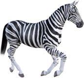 Зебра природы Африки, изолированная живая природа, стоковое изображение