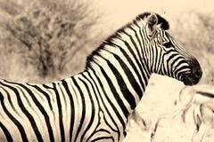 зебра профиля Стоковые Изображения RF