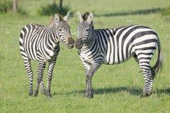 Зебра равнины (квагга Equus) на саванне Стоковое Изображение