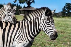 Зебра равнин или ` s Burchell накидка burchelli Equus зебры восточная, Южная Африка Стоковое Изображение