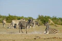 Зебра равнин - квагга Equus стоковые фото