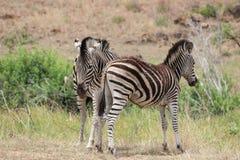 Зебра равнин & x28; Quagga& x29 Equus; Стоковое Изображение RF