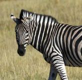зебра реки quagga khwai equus Ботсваны стоковая фотография rf