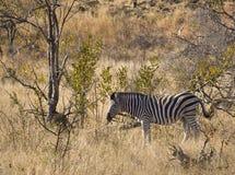 зебра саванны Африки южная Стоковая Фотография