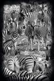 Зебра самолетов - национальный парк Etosha - Намибия стоковая фотография rf