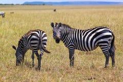 Зебра - сафари Кения Стоковая Фотография