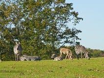 зебра семьи Стоковая Фотография