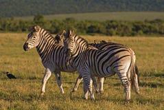 зебра семьи стоковое изображение