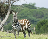 зебра серых цветов стоковое фото