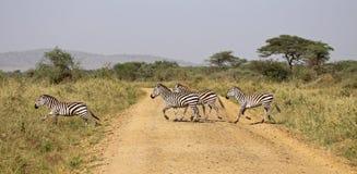 зебра скрещивания стоковые фотографии rf