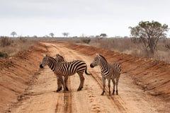 зебра скрещивания Стоковое Изображение RF