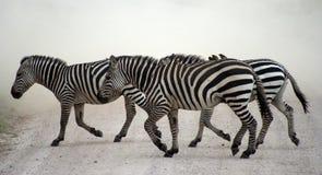 зебра скрещивания Стоковая Фотография RF