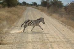 зебра скрещивания стоковая фотография
