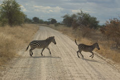 зебра скрещивания стоковое фото