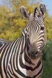 Зебра смотря нас смешные Стоковые Фото