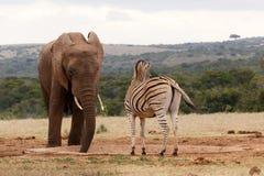 Зебра смотря отсутствующий пока слон питьевая вода Стоковая Фотография RF