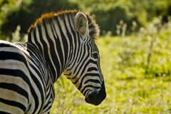 Зебра смотря правый Стоковое Изображение