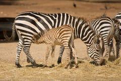 зебра сосунка дара s осленка стоковые фотографии rf
