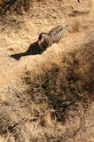 зебра спринта Стоковые Фото