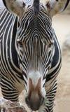 зебра стороны Стоковые Фото