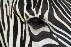 зебра стороны Стоковое Изображение