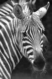 зебра стороны стоковая фотография