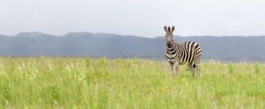 Зебра стоя в равнине стоковые фото