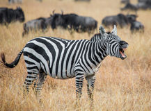Зебра стоя в саванне и зевая Кения Танзания Национальный парк serengeti masai mara Стоковые Фотографии RF