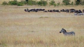 Зебра стоя в траве африканской саванны на фоне табуна гну антилопы гну Стоковое фото RF