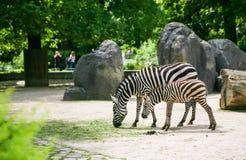 Зебра с осленком Стоковые Фото