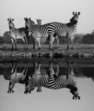 Зебра с отражением воды Стоковые Фотографии RF
