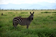 Зебра с 2 птицами дальше подпирает на саванне, Африке, Кении Стоковое Изображение RF