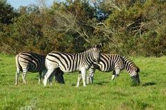 зебра табуна Стоковые Фотографии RF